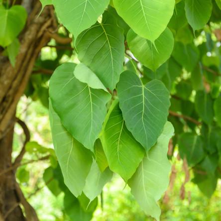 Ficus Garden